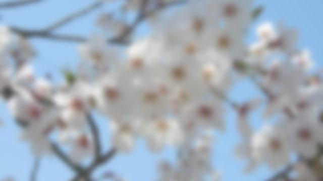 霞んで見える桜の花